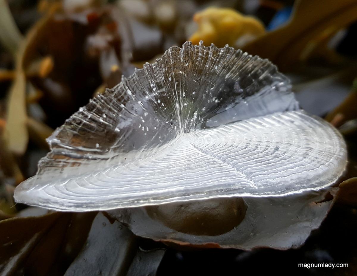 Clear Velella velella