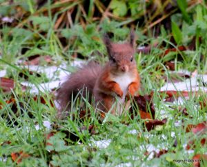 Red squirrel at Dooney Rock, Sligo